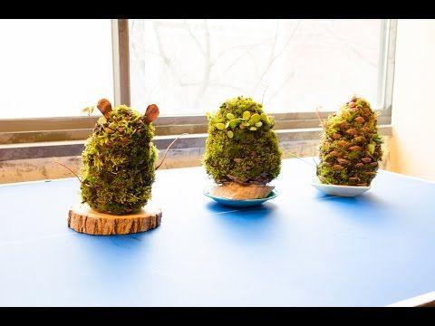 日本で初めて!松ぼっくりを使って苔玉を作る「苔玉ワークショップ」 at 盆栽カフェ - YouTube
