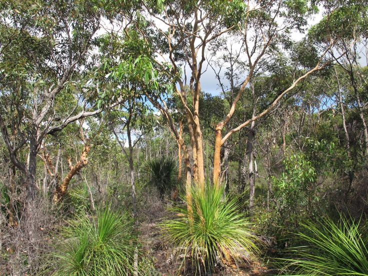 Xanthorrhoea plants as you usually see them in the bush.