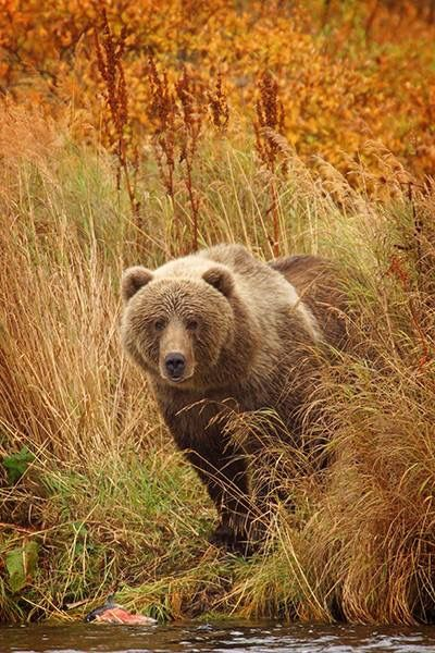 Brown Bear                                                                                                                                                                                 More