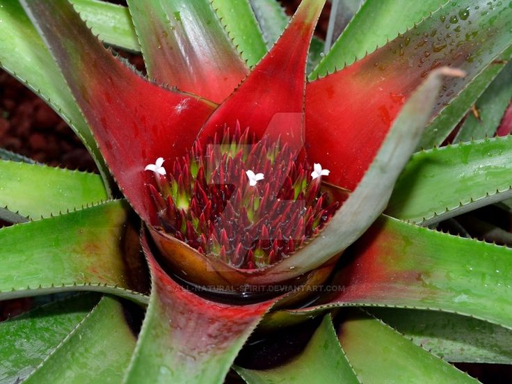 Bromeliad by All-Natural-Spirit.deviantart.com on @DeviantArt