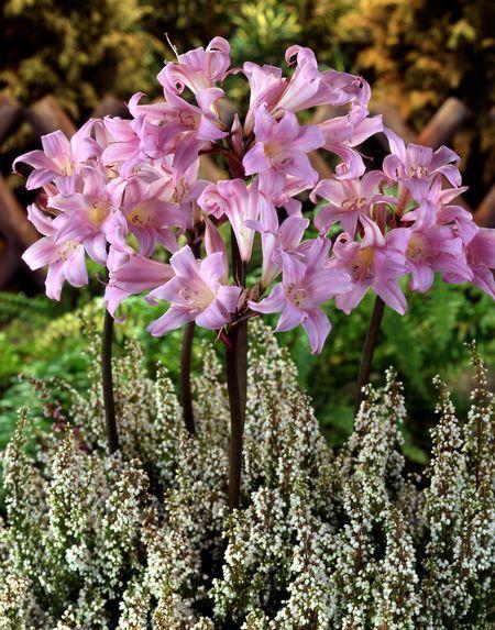 Surprise Lily, Magic Lily, Resurrection Lily, Naked Lady Lycoris squamigera