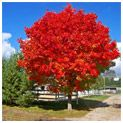 October Glory Maple  The Brightest Red fall foliage of any Fast Growing Tree!