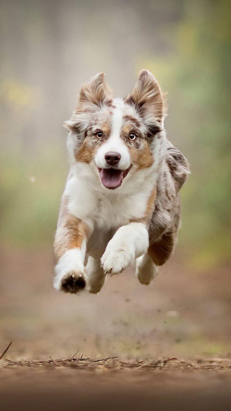Australian Shepherd Running Dog breeds, Aussie dogs