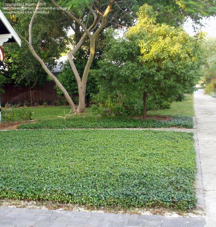 Vinca minor as lawn