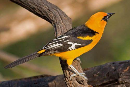 Птица иволга