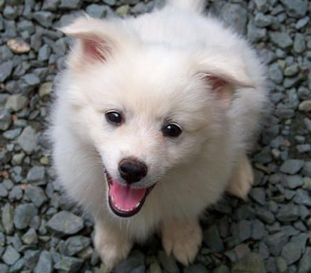 American Eskimo want so bad!!!! Used to have one! Easy dog