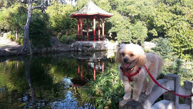 A Tibetan dog in a Japanese garden. Hastings, NZ