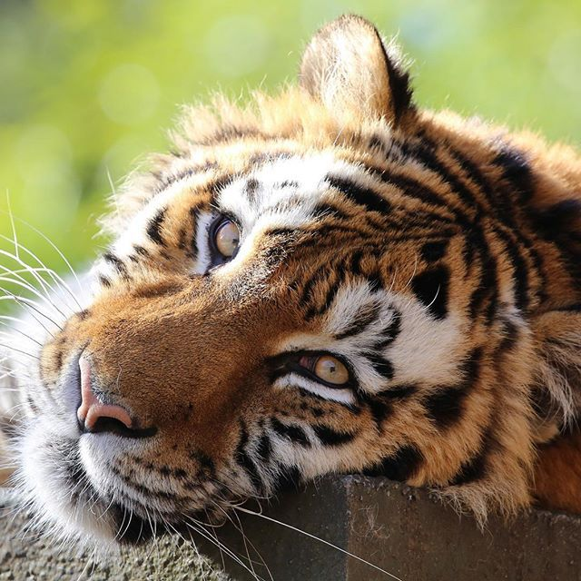 An Amur tiger lies down at the edge of some rocks.