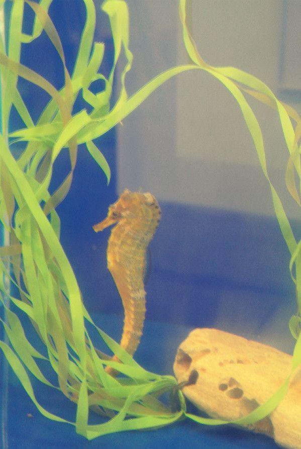 seahorse Visit to Cabrillo Marine Aquarium