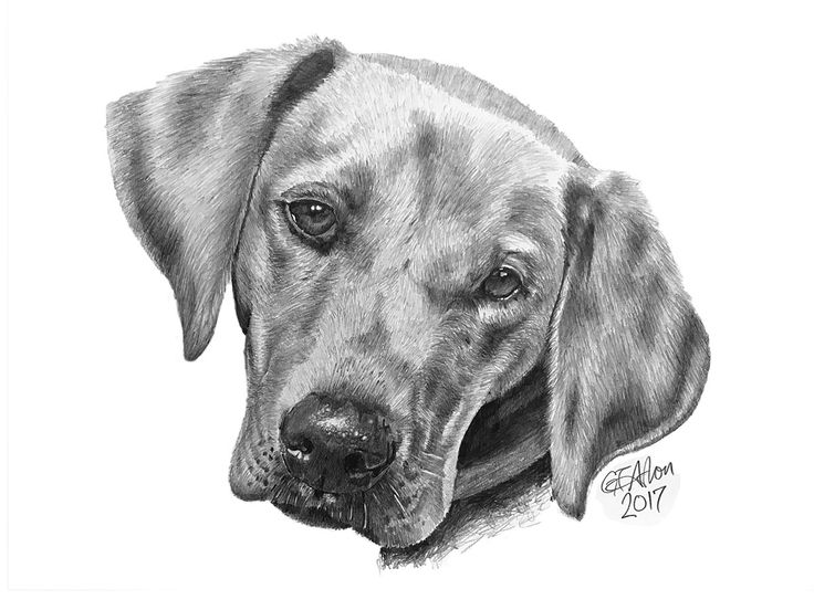 This dog drawing is of Barney, a beautiful golden retriever was a second commission by a lady who was over the moon with her first drawing.