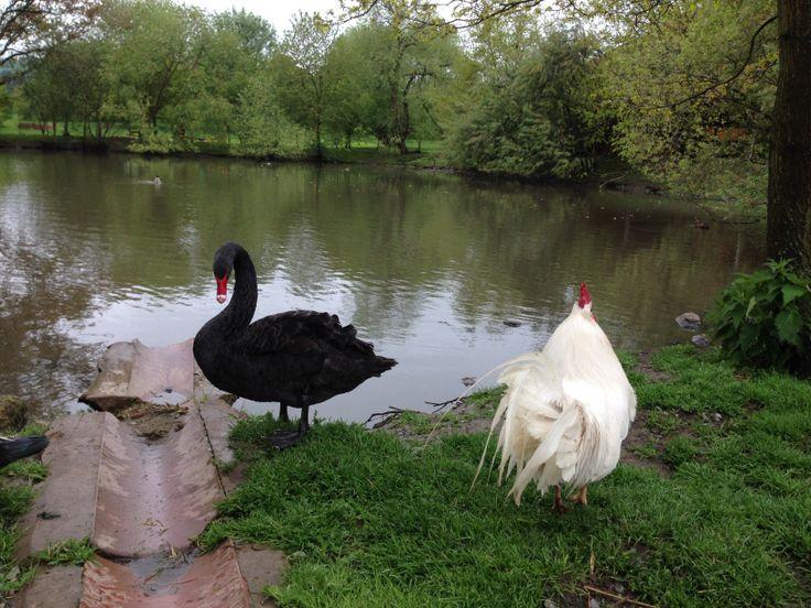 Barokni statek Benice - Favory, černá labuť