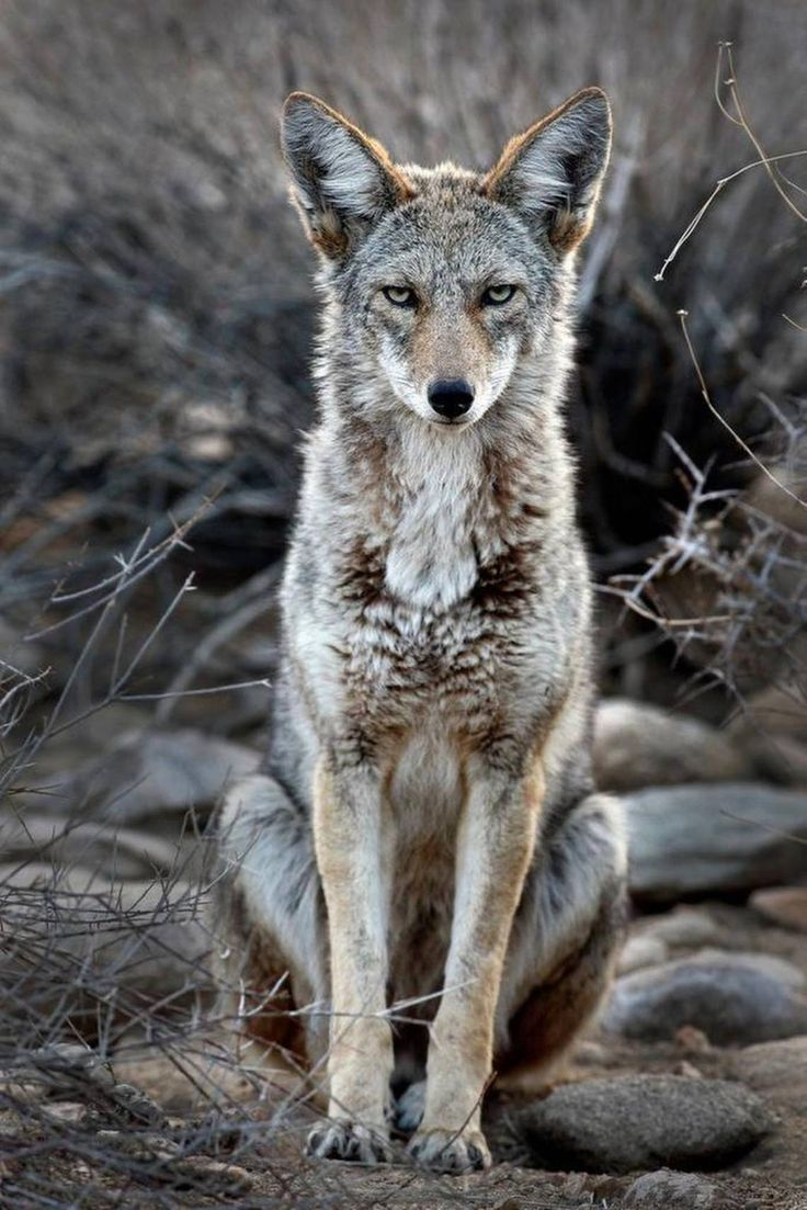 DISPLAY-1226-main-coyotes 2 (1140×1709)