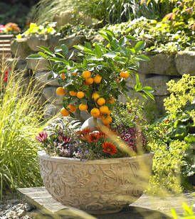 Im verschnörkelten Gefäß erweckt ein kleiner Panama-Orangenbaum, Citrus madurensis, den Traum vom Süden. Zwischen orangerotem Mittagsgold, violett blühendem Thymian und Buntnessel mit gelben Blatträndern leuchten die Früchte besonders intensiv.
