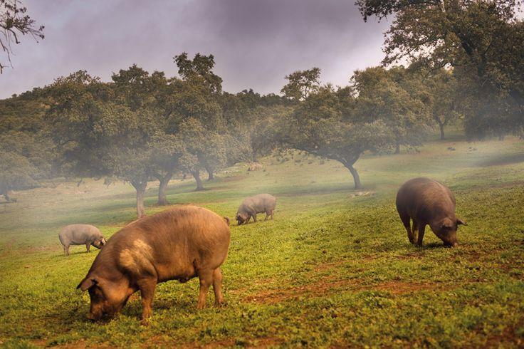 La última raza porcina de pastoreo en Europa, que desciende del jabalí prehistórico Sus Mediterraneus y que pobló las orillas del mar Mediterráneo, convierte hoy al cerdo ibérico en una raza diferente, una raza única.