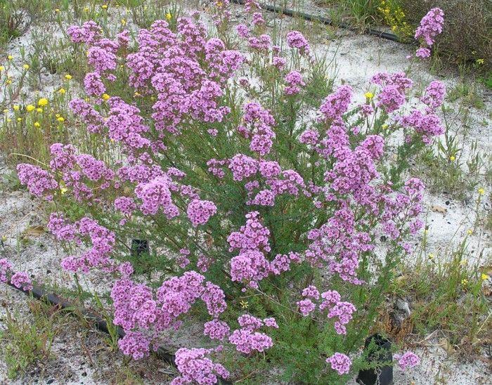 Verticordia Plumosa — Lullfitz Nursery