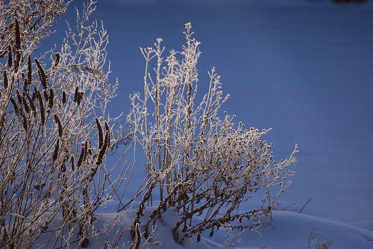 Agastachen, Reste von Phlox und die kleinen schwarzen Blütenknöpfe von Sommeraster Kalimeris incisa 'Madiva'
