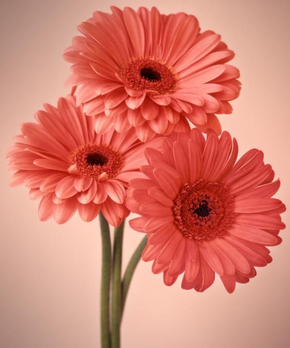 Gerberas also make me happy @danielmcmillan