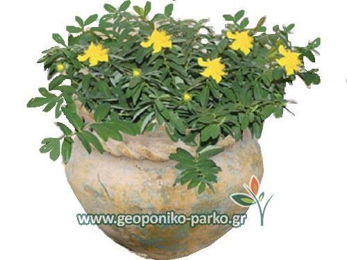 Θάμνοι φυτά παραθαλάσσιων περιοχών : Υπέρικο έρπον φυτό - Hypericum calycinum