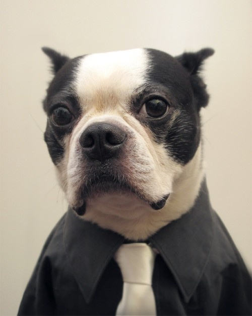boston terriers have style
