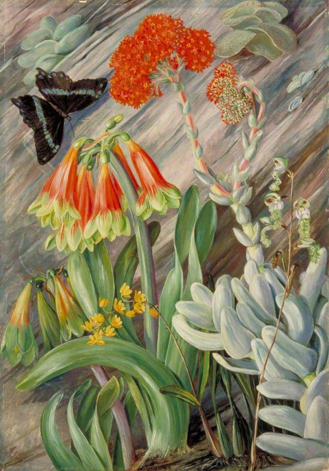 Red and Green Cyrtanthus, Crassula (syn. Rochea), and Orchids, South Africa - Marianne North