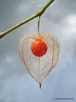 """Physalis, """"love in a cage""""  // Great Gardens & Ideas //: Seed Pods, Chinese Lanterns, Plants, Flowers, Garden"""