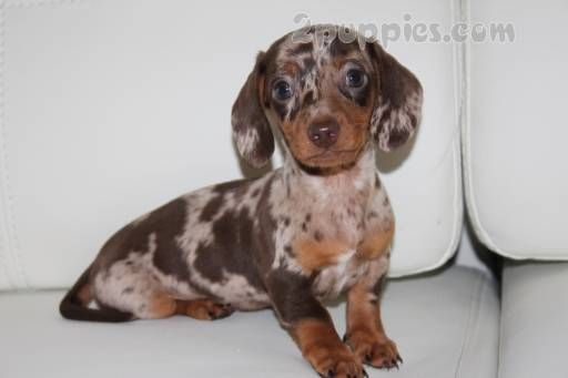 Find Your Dream Puppy Of The Right Dog Breed At Dapple Dachshund
