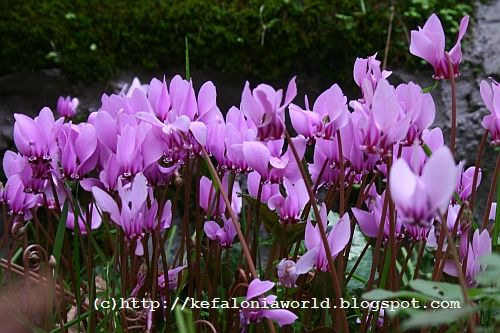 Fall colors of Kefalonia - Cyclamen