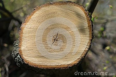 The slice of wood and annual rings. work in the logging. wood processing industry