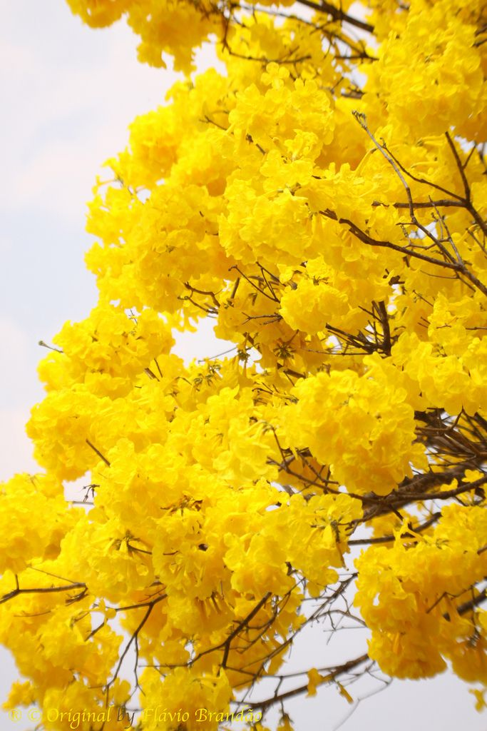 Tabebula Chysanthas - Golden trumpets, aka ipê amarelo