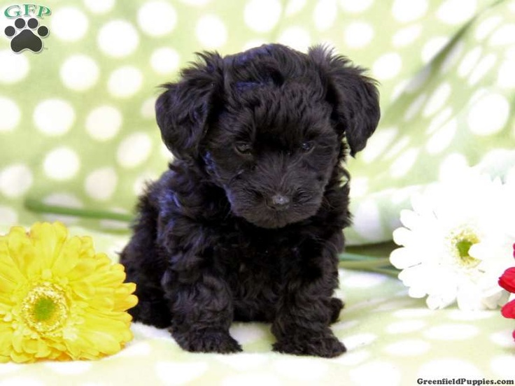 yorkie poo puppies for sale in pa 21 best images about yorkie poos on pinterest 5027