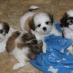 Fun Loving Shih Tzu puppies