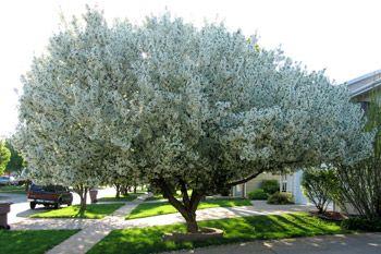 Blue Grass Spring Snow Crabapple Tree - Blue Grass