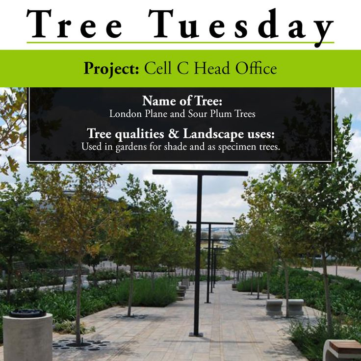 We're looking at a project at the Cell C Head Office in August 2014. We supplied approximately 200 London Plane trees which were used to frame the axis of their main connecting boulevard. Wild Plum were then used in custom designed circular planters. This project would not have been possible without Landscape Architect; Insite Landscape Architects, and Landscape Contractors: Servest Landscaping, Danvon Landscapes and Life Landscapes.