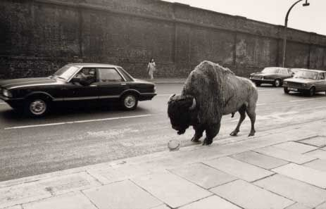 Fay Godwin | Bison at Chalk Farm
