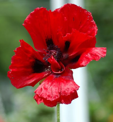 Pictures of Red Flowers: Picture of red poppy flower.