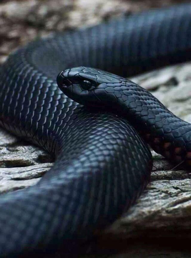 Mamba Snake Deadly Animals Snake Spirit Animal Snake Wallpaper Black mamba hd wallpaper