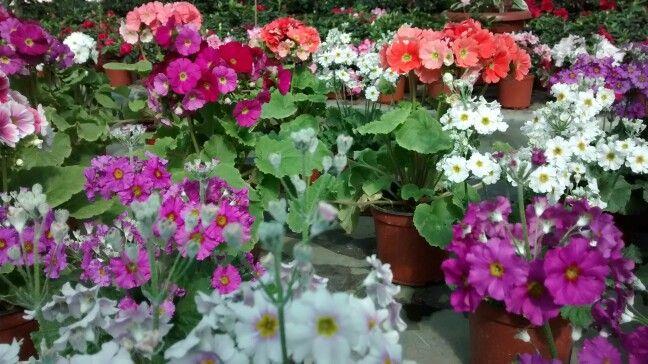 Flores chilenas