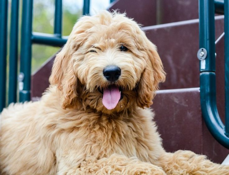 How To Groom A Goldendoodle Goldendoodle