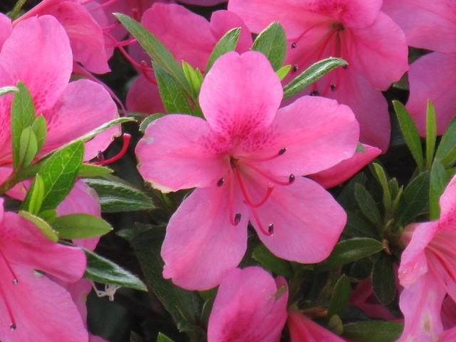 5月18日【サツキツツジ(皐月躑躅)】学名:Rhododendron indicum Sweet形態:半常緑樹 樹高:低木分類:ツツジ科花色:朱赤色、白色、黄色、桃色(原種は紅紫色)使われ方:庭木、公園樹、街路樹などとして使われています。