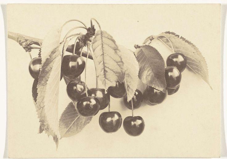 Plantstudie van een kersentak, Richard Tepe, 1900 - 1930