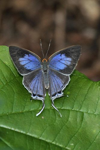 Stunning Azure Hairstreak Butterfly! Posing on green leaf