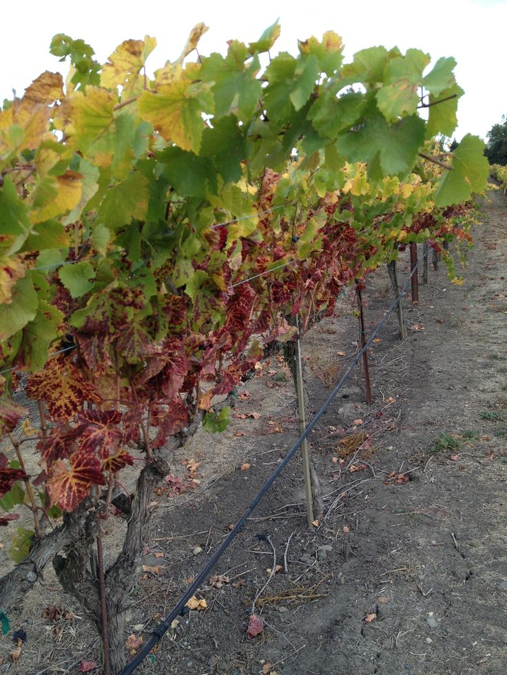 This is how vines look when fall starts in Chile.