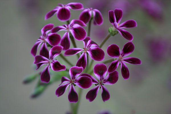 Pelargonium 'Lawrenceanum'   www.perugiaflowershow.com