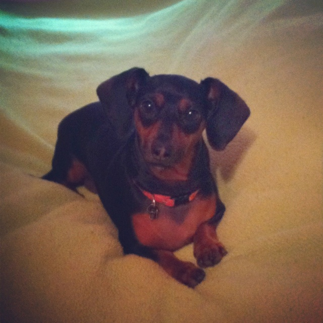 I have the cutest Dachshund ever! I love my Phoebe!Cutest Dachshund, Dachshund Cutie