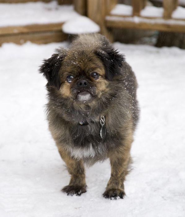 Pug Tzu Pug Zu Dog Breeds Pugs