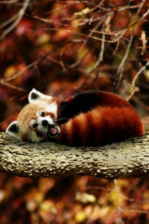Red panda; we saw two that were traveling to various zoos.  They are even more beautiful in real life!