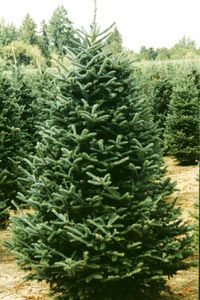 The Fraser Fir - the NC mountain native that is the official North Carolina Christmas Tree -- best Christmas trees !!!