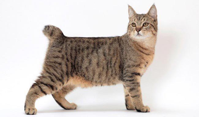 кошка породы пикси-боб фото
