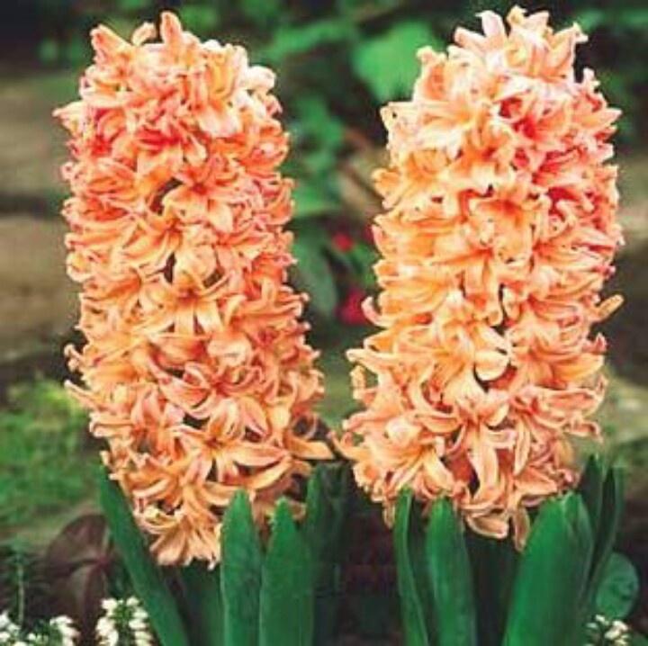 I need this hyacinth. Like NEED it