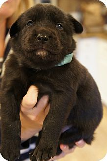 01/07/15-Los Alamitos, CA - Golden Retriever/German Shepherd Dog Mix. Meet Donner, a puppy for adoption. http://www.adoptapet.com/pet/12215190-los-alamitos-california-golden-retriever-mix
